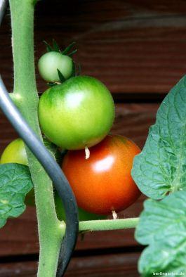 Gesunde Tomaten dank Calcium