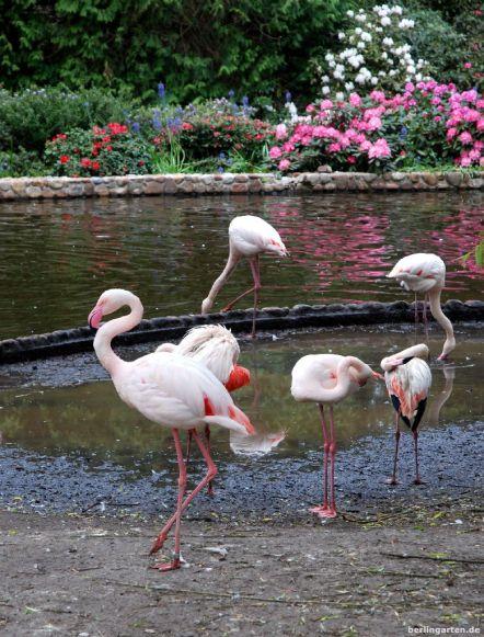 Hübsch zusammen - Flamingos und Rhodos