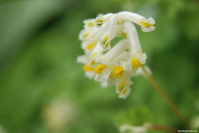 Hübsche Blüten des Gelbweißen Lerchensporns Corydalis ochroleuca