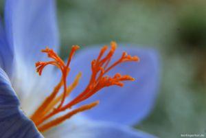 Zwiebelblüher: diese 10 gehören in jeden Garten