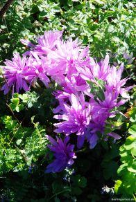 Die Herbstzeitlose Waterlilly wird durch das Laub der Katzenminze gestützt.
