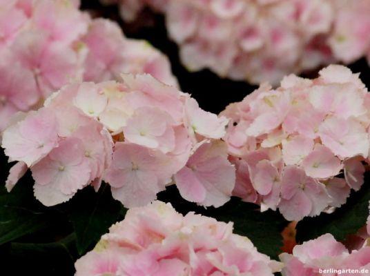 Hortensie Everbloom Pink Wonder