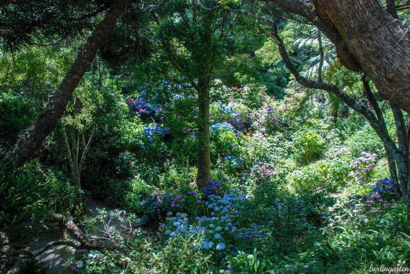 Hortensien so weit das Auge reicht - und blau! Boden und Klima machen es möglich