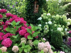 Hortensienallerlei mit der weißen Annabelle und zwei verschieden hoch werdenden Bauernhortensien