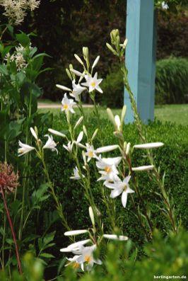 Auch solch florale Schätze gibt es: die Madonnenlilie