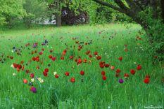 Im Britzer Garten gibt es Tulpenpflanzungen in allen Spielarten