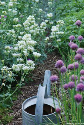 Im Gemüsebeet. Weiße Spornblume passt bestens dazu