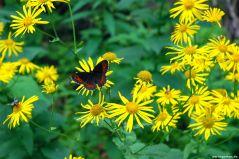 Im Lesachtal gibt es sehr viele Schmetterlingsarten
