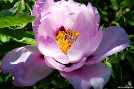 Intensiv ist die Blüte der Strauchpfingstrose Paeonia Rockii