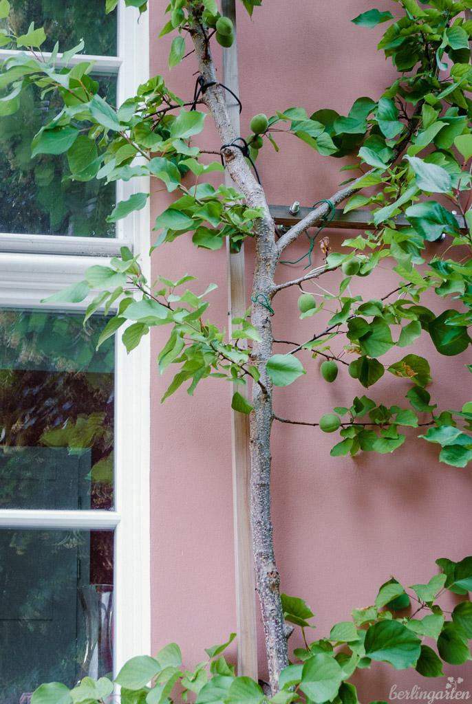 Platz wird genutzt: Aprikosenbaum am Haus als Spalierobst