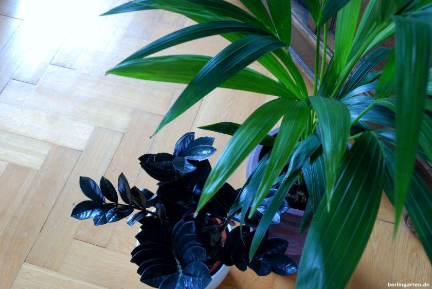 Zwei Stars der dunklen Räume: Kentiapalme und Zamioculcas 'Raven'