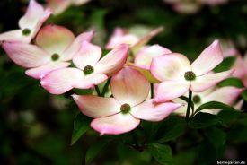 Kostbare Hartriegelblüte