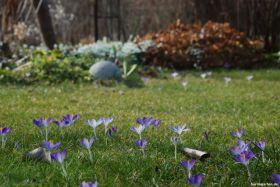 Elfenkrokusse im Rasen: die zarten Crocus tommasinianus
