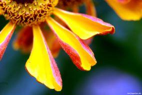 Kunstwerk Sonnenbrautblüte