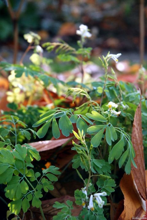 Der Weiße Lerchensporn Corydalis ochroleuca blüht von April bis zum Frost