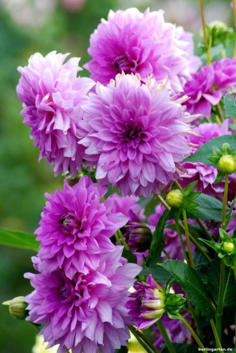 Ein Traum in lila