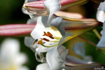 Lilie lilium regale