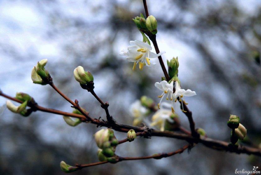 Die Winterheckenkirsche Lonicera purpursii hat besonders aparte kleine Blüten