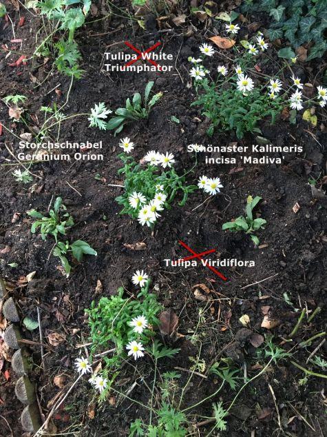 Meine einzige Pflanzaktion Mitte September: Geranium Orion aufgenommen, Erde mit Bentonit und Kompost angereichert, zusammen mit Schönaster eingepflanzt; Tulpen gesetzt