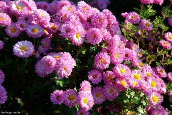 Pomponchrysantheme 'Mei-Kyo' (Chrysanthemum x hortum)