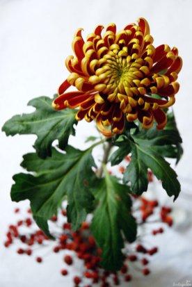 Eine Prachtchrysantheme mit unterschiedlich gefärbten Blütenblattseiten