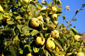 Köstliche Apfelquitten