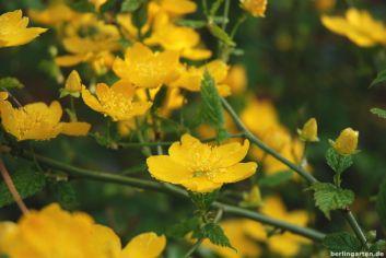 Ranunkel Kerria japonica