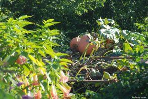 Auf dem Dach reifen die Kürbisse ungestört