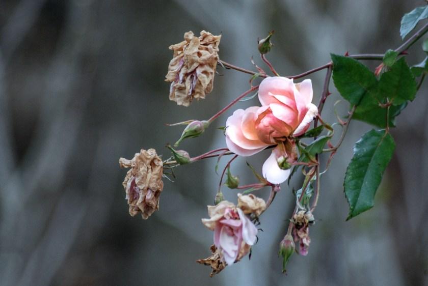 Es blühen immer noch die letzten Rosen