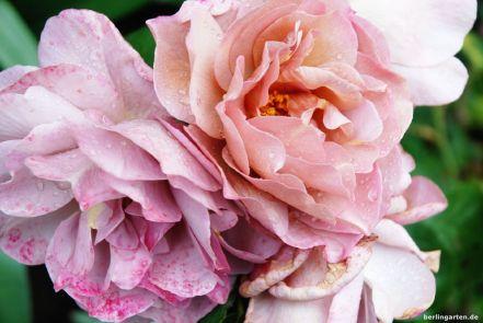 Rose Lavender Pinocchio