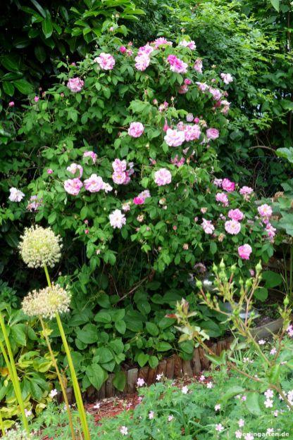 Rose Versicolor Totale