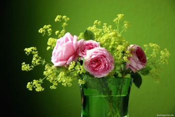 Rose und Frauenmantel