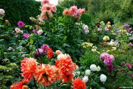 Harmoniert gut: Rosen und Dahlien