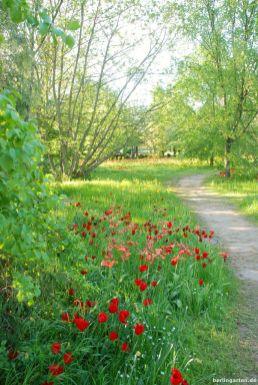 Rote Tulpen wie Klatschmohn in der Wiese
