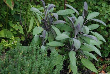 Ein schickes Kraut: Salbei mit lila Austrieb