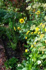 Schönaster zu Staudensonnenblumen