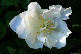Schönheit der weißen Tulpe Mount Tacoma
