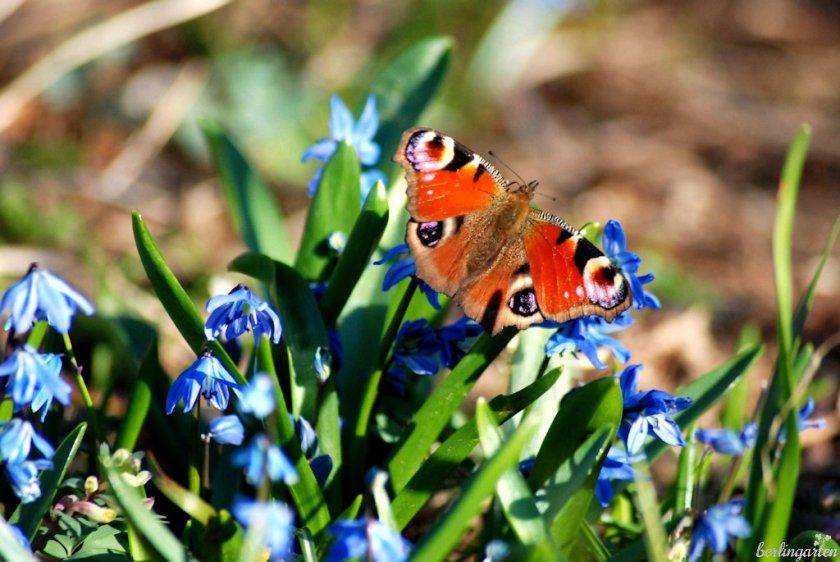 Schmetterling Scilla siberica