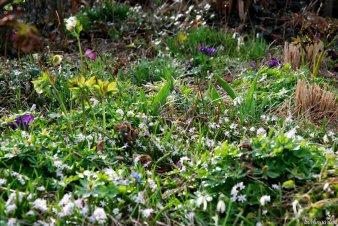 Das Rosasternchen Scilla bifolia rosea bedeckt Anfang April große Flächen