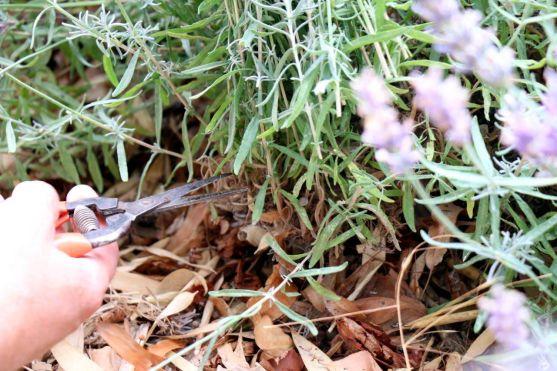 Septemberschnitt Lavendel