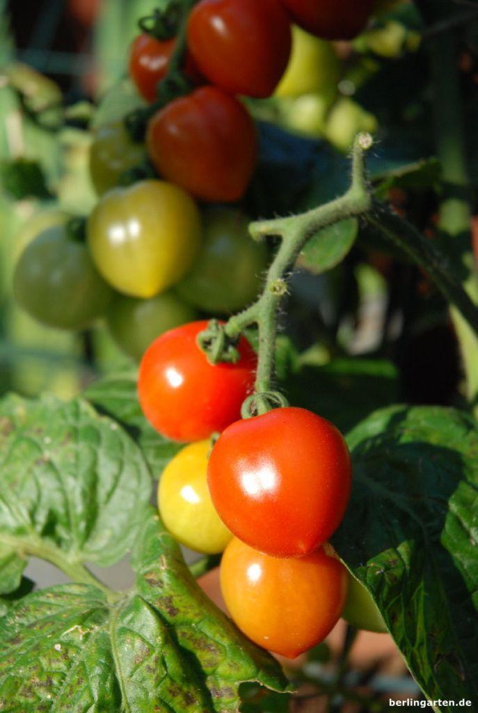 Snack-Tomate Heartbreakers® 'Vita'F1