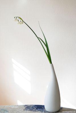 Elegante Erscheinung: Sommerknotenblume