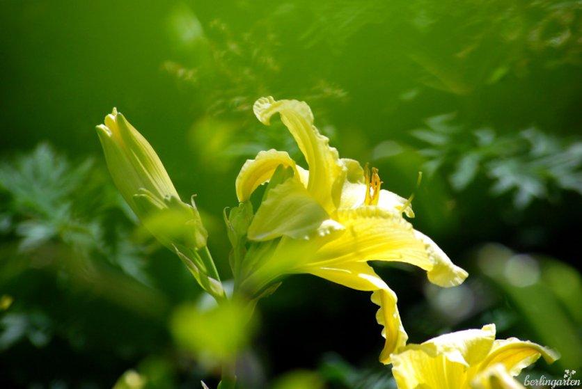 Taglilie gelb So lovely