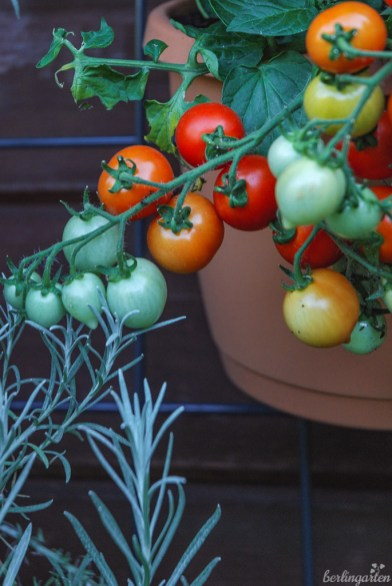 Gut für die Topfkultur ist die Tomate 'Heartbreaker' geeignet