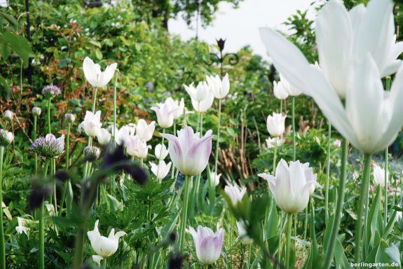 Lilieblütige Tulpen wie White Triumphator tanzen ebenfalls auf langen Stielen