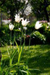 Die Tulpe White Triumphator ist die bestimmende im berlingarten