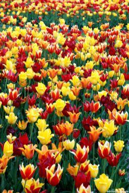 Tulpen so weit das Auge reicht