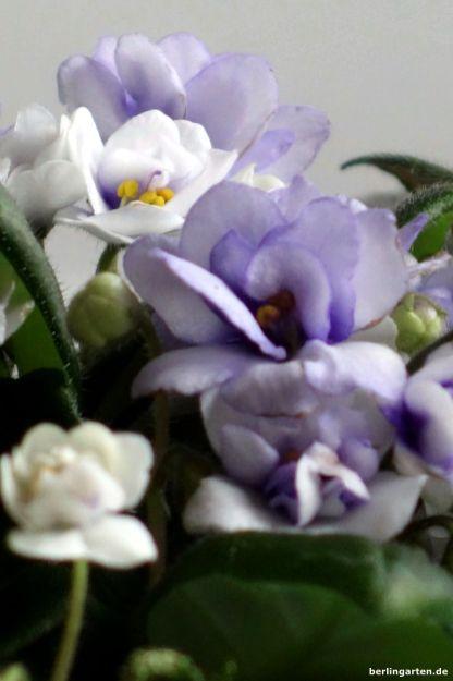 Usambaraveilchen hellblau-weiß