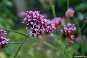 Für eine üppig lila Pracht: Eisenkraut (Verbena bonariensis) im Herbst aussäen