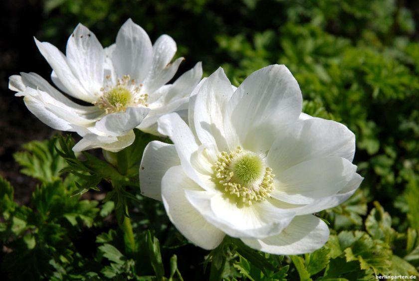 Weiße Anemonen
